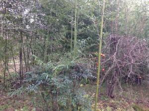 竹が増殖中。