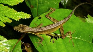 photo credit: Anolis sp. via photopin (license)